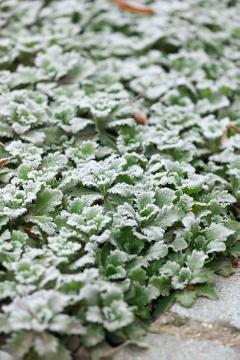 Bodendecker, Sedum (Genus), Winter impression, Winter