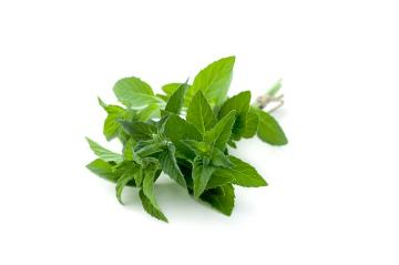 Duftpflanze, medicinal plant, Peppermint, Spice plant, white background