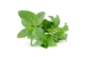 Duftpflanze, Mentha x rotundifolia L., Spice plant, white background