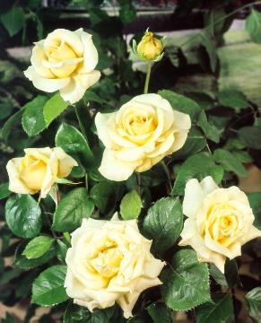 Hybrid Tea, rose (Genus), Roses