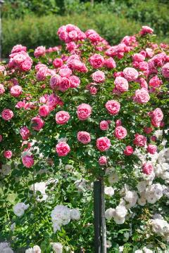 Floribunda rose, long stemmed rose