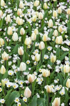 Anemone blanda, Tulipa Single Early