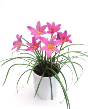 white background, Zephyranthes minuta