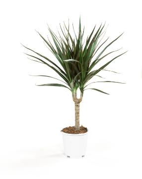 Dracaena reflexa var. angustifolia, white background