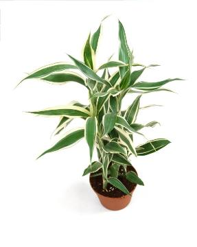 Dracaena fragrans, varigated leaves, white background
