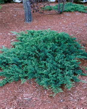 conifer, Japanese Juniper, Juniperus (Genus)