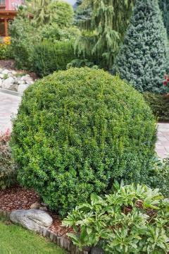 Taxus baccata, topiary pruning