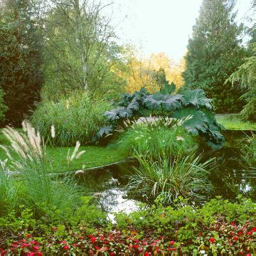 Giant Rhubarb (Genus), pond