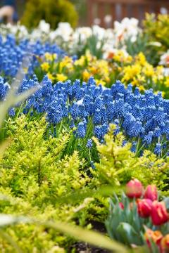 Impression with Muscari, Muscari armeniacum