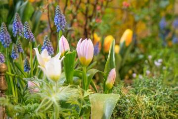 grape hyacinth (Genus), pasqueflower (Genus), tulip (Genus)