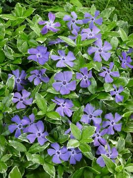 varigated leaves, Vinca minor