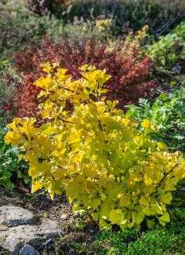 fall foliage, Maidenhair Tree