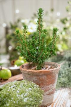 Christmas decoration, Christmas, Picea glauca, Tontopf
