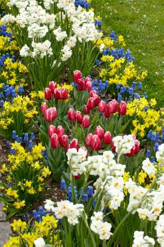 daffodil (Genus), flower bed, fringed tulip