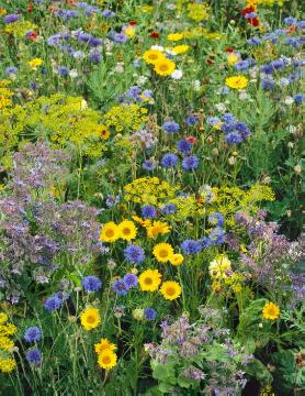 Anethum graveolens, Bachelor's Button, Borage, Chrysanthemum (Genus), Flower meadow