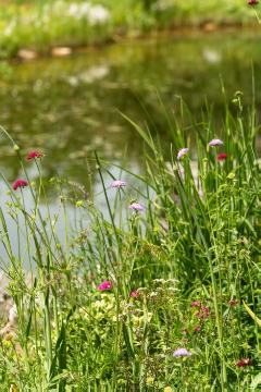 Flower meadow, Gewässer, natural pond, pincushions (Genus)