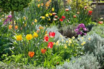 Bauerngarten, Common Box, daffodil (Genus), lavender cotton (Genus), tulip (Genus), Wallflower