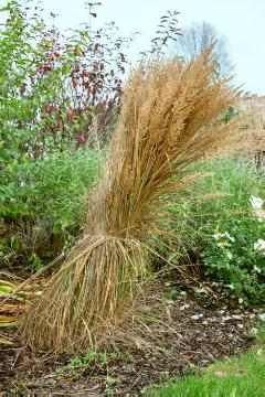 Stipa calamagrostis, Winter Conservation