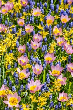 Mixture (Mix), Muscari armeniacum, Narcissus triandrus, Tulipa bakeri