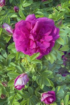 Japanese Rose, Rosa gallica