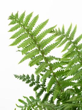 Dryopteris affinis, white background, Wyss