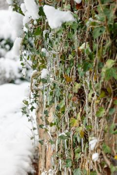 Common Ivy, Eiszapfen, Ice, snow, Winter, Winterlandschaft