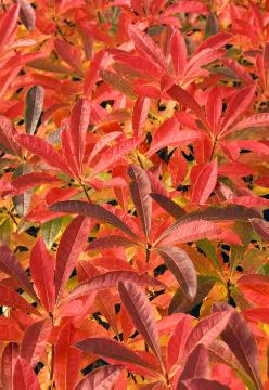 fall foliage, Rhododendron molle