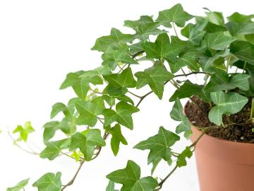 Common Ivy, white background, Wyss