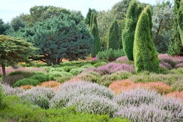 Coniferes, heather (Genus), Heather garden, Pinus (Genus), Säulenwuchs