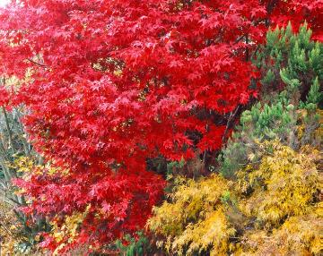 Autumn, maple (Genus)