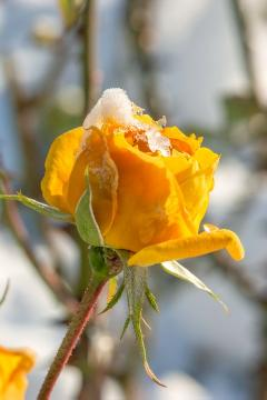 Hybrid Tea, snow, Winter impression, Winter