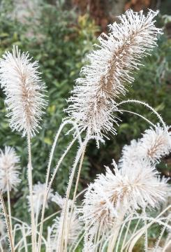 Frost, Ice, impression, Pennisetum alopecuroides, Winter impression, Winter