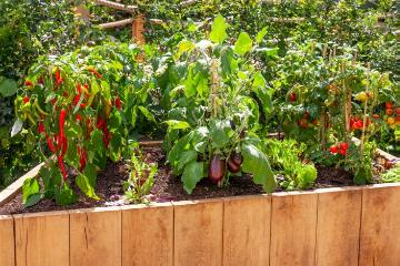 Aubergine, Capsicum annuum, raised bed, Tomato