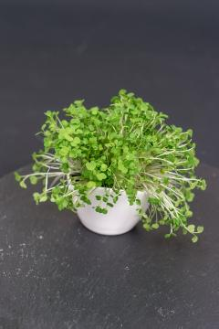 Italian Cress, Sprouting Seeds