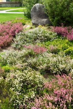 Calluna vulgaris, heath (Genus), Plants for Acid Soil