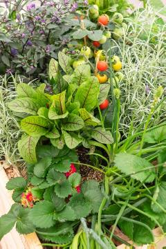 Herbs and Aromatics, raised bed, Rumex sanguineus, Strawberry, Tomato
