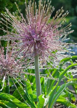 Allium schubertii, atmosphere, impression