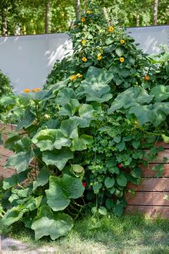 Common Ivy, gourd (Genus), Thunbergia alata, vegetable raised bed
