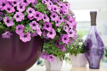 atmosphere, Lifestyle, petunia (Genus)