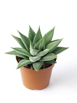 Haworthia (Genus), white background