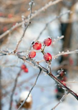 Ice, impression, Rosa spinosissima, rose hip, Winter impression, Winter
