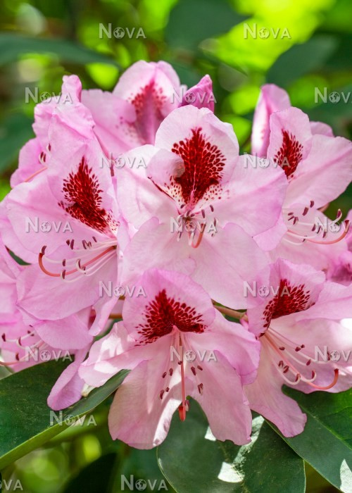 N0204885 Rhododendron Madame Linden