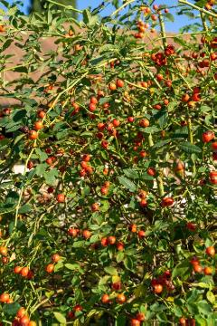 Rosa canina, rose hip