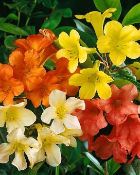 Mixture (Mix), Plants for Acid Soil, Rhododendron (Genus)