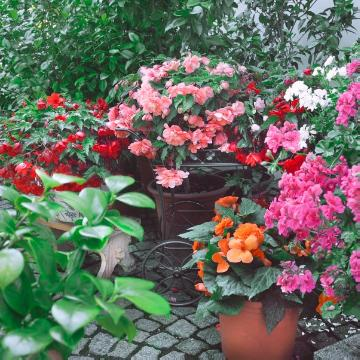 begonia (Genus), Begonia x tuberhybrida, Mixture (Mix), Plant container «Accessories in the Garden», Summertime, terrace, Topf
