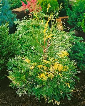 Calocedrus decurrens, conifer, incense cedar (Genus)
