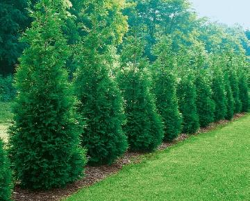 arborvitae (Genus), Coniferes, Plants to use for Hedges