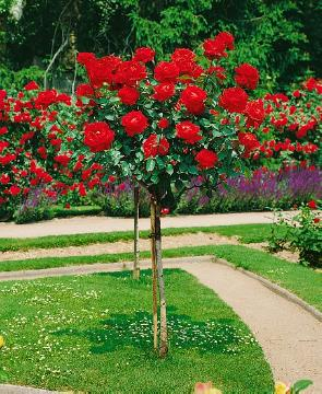 long stemmed rose