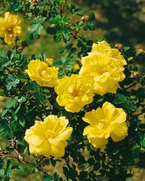 Japanese Rose, old rose