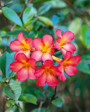 Plants for Acid Soil, Rhododendron (Genus)